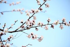Fondo della primavera del cielo nudo-breasted con un ramo di albero sbocciante fiori dell'anello su un ramo del tre dell'albicocc immagine stock libera da diritti