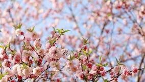 Fondo della primavera dell'albero di Sakura archivi video