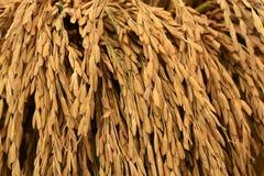 Fondo della risaia Fotografie Stock Libere da Diritti