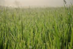 Fondo della risaia|mattina|fild della risaia|fondo|bello |verde fotografia stock libera da diritti