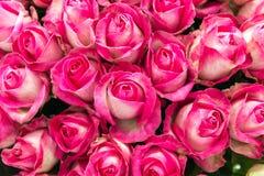 Fondo della rosa di bianco e di rosa fotografia stock libera da diritti
