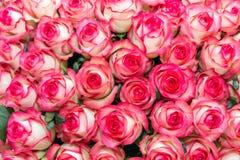 Fondo della rosa di bianco e di rosa Immagine Stock Libera da Diritti
