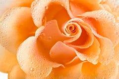 Fondo della rosa di giallo Immagini Stock