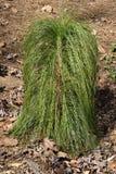 Fondo della spazzola dell'erba dell'ornamento Fotografia Stock