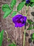 Fondo della viola del fiore Fotografia Stock