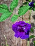 Fondo della viola del fiore Fotografie Stock Libere da Diritti