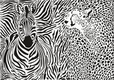 Fondo della zebra e del ghepardo e del modello Fotografia Stock Libera da Diritti