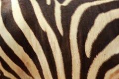 Fondo della zebra nella natura Immagini Stock Libere da Diritti
