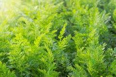 Fondo delle cime verdi della carota sul tramonto fotografie stock