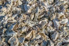 Fondo delle conchiglie di ostrica Immagine Stock