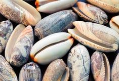 Fondo delle conchiglie Primo piano delle coperture dell'oliva e della ciprea Modello dell'insegna delle conchiglie Immagini Stock