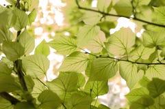 Fondo delle foglie Fotografia Stock Libera da Diritti