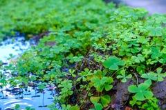 Fondo delle foglie dei trifogli Immagini Stock