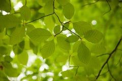 Fondo delle foglie del faggio fotografate verso il loght Immagini Stock Libere da Diritti