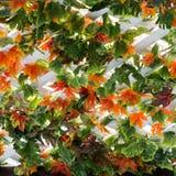 Fondo delle foglie di acero Fotografia Stock Libera da Diritti