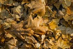 Fondo delle foglie di acero e del tiglio ingialliti Fotografia Stock Libera da Diritti