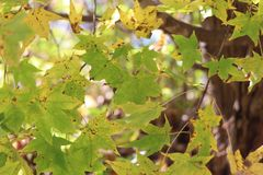 Fondo delle foglie di acero verdi/foglie di acero/ Immagini Stock Libere da Diritti