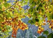 Fondo delle foglie di autunno verdi, dorate ed arancio immagini stock