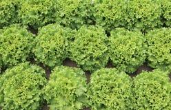 fondo delle foglie di lattuga Fotografie Stock