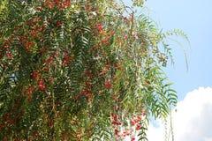 Fondo delle foglie e delle bacche rosse dell'albero sul fondo del cielo blu di estate fotografia stock libera da diritti
