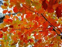 Fondo delle foglie luminose dell'oro e di rosso Immagine Stock Libera da Diritti