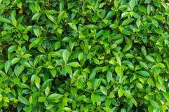 Fondo delle foglie verdi Immagini Stock