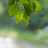 Fondo delle foglie verdi Fotografia Stock