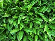 Fondo delle foglie verdi Immagine Stock