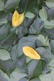 Fondo delle foglie verdi dell'albero di olmo Fotografia Stock