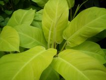 Fondo delle foglie verdi e carta da parati dell'albero Fotografie Stock