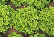 fondo delle foglie verdi fertili di lattuga Fotografia Stock