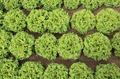 fondo delle foglie verdi fertili di lattuga nel campo Immagini Stock