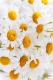 fondo delle margherite bianche del campo con i centri gialli fotografie stock