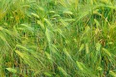 Fondo delle orecchie del grano Fotografie Stock Libere da Diritti
