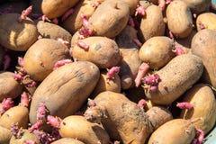 Fondo delle patate per la piantatura nel giardino Immagini Stock Libere da Diritti