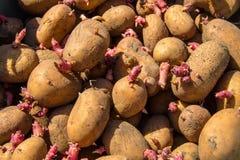 Fondo delle patate per la piantatura nel giardino Fotografia Stock Libera da Diritti