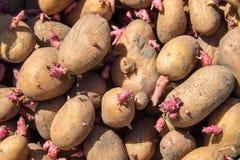 Fondo delle patate per la piantatura nel giardino Fotografie Stock Libere da Diritti