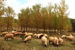 Fondo delle pecore Immagini Stock