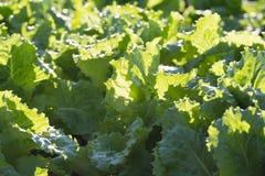 Fondo delle piante crescenti della lattuga sul letto del giardino Fotografie Stock