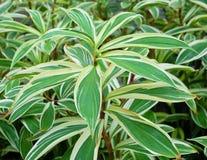 Fondo delle piante dell'albero o della dracaena dell'yucca Fotografia Stock Libera da Diritti