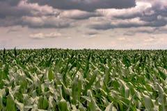 Fondo delle piante di cereale con le nuvole di tempesta Fotografia Stock Libera da Diritti
