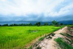 Fondo delle piante di riso Immagini Stock