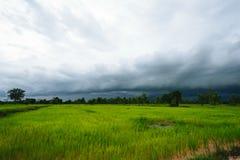 Fondo delle piante di riso Fotografie Stock Libere da Diritti