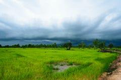 Fondo delle piante di riso Fotografie Stock