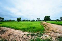 Fondo delle piante di riso Immagine Stock