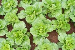 fondo delle piante delle lattughe Immagini Stock