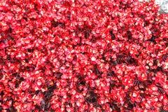 Fondo delle piante rosse Fotografia Stock Libera da Diritti