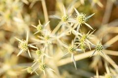 Fondo delle piante spinose asciutte del campo, fiore selvaggio fotografia stock