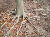 Fondo delle radici e dei tronchi dell'albero sulla terra fotografia stock