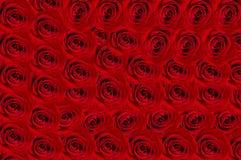 Fondo delle rose  Immagine Stock